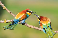 Uccello colorato che tocca il becco fotografie stock