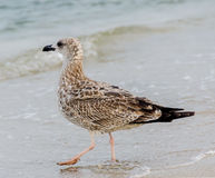 Uccello colorato del gabbiano su una spiaggia di sabbia e su un'acqua Immagine Stock Libera da Diritti