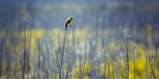 Uccello colorato poco che si siede su un ramo sottile, in un campo, in tempo soleggiato, girato nella destra, minimalismo, all'ap Immagine Stock
