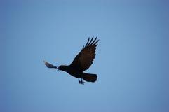 Uccello - come il corvo vola Immagini Stock Libere da Diritti