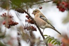 Uccello comune dei coelebs del Fringilla del fringuello che mangia le bacche Fotografia Stock Libera da Diritti