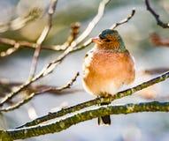 Uccello comune del fringuello che si siede su un albero Fotografie Stock