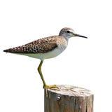 Uccello comune del piovanello Fotografia Stock Libera da Diritti