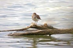 Uccello comune del piovanello (hypoleucos del Actitis) Fotografia Stock Libera da Diritti