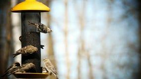 Uccello comune del Redpoll, flammea di Acanthis, parecchi uccelli all'alimentatore stock footage