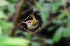 Uccello comune del sarto fotografie stock libere da diritti