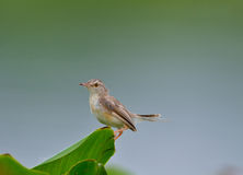 Uccello comune del sarto (sutorius del Orthotomus) Immagine Stock