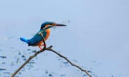 Uccello comune dell'abitante del Bangladesh del martin pescatore Fotografia Stock