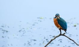 Uccello comune dell'abitante del Bangladesh del martin pescatore Fotografie Stock Libere da Diritti