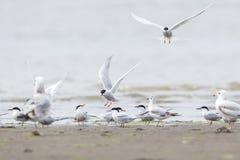 Uccello comune della sterna fotografia stock