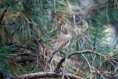 Uccello comune di Chiffchaff Immagini Stock Libere da Diritti