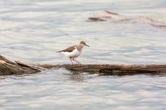 Uccello comune di hypoleucos del Actitis del piovanello Immagine Stock