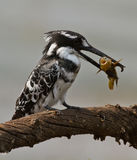 Uccello con i pesci in becco   Immagini Stock