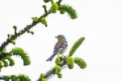 Uccello con il becco blu che si siede sull'albero in Ordu fotografia stock libera da diritti