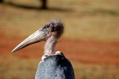 Uccello con il becco o la fattura lungo Fotografie Stock Libere da Diritti