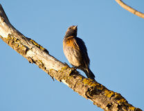 Uccello con il collo arancio Immagini Stock Libere da Diritti