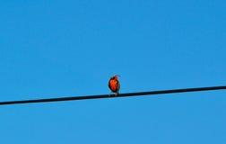 Uccello con il seno rosso appollaiato Fotografia Stock
