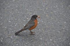 Uccello con il verme in becco immagine stock libera da diritti