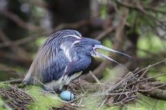 Uccello con l'uovo in un nido immagini stock