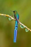 Uccello con la coda lunga Bello colibrì lucido blu con la coda lunga Silfide a coda lunga, colibrì con la coda blu lunga nella n fotografia stock libera da diritti