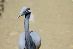 Uccello con la testa calva Immagini Stock Libere da Diritti