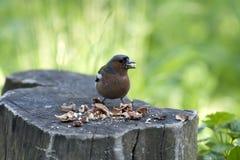 Uccello con le noci su un albero mozzo Immagini Stock
