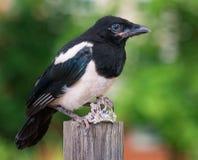 Uccello con piccoli gioielli Fotografia Stock