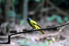 Uccello con testa nera di Bulbul Fotografie Stock Libere da Diritti