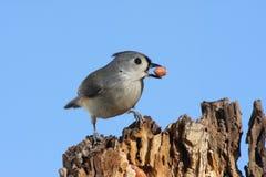 Uccello con un'arachide Fotografie Stock Libere da Diritti