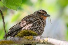 Uccello con un insetto in suo becco fotografia stock libera da diritti