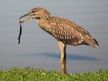 Uccello con un ramoscello Fotografie Stock Libere da Diritti