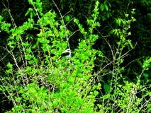 Uccello conosciuto come il gallo del campo che riposa su un albero fotografia stock
