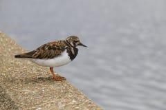 Uccello costiero 1 del Turnstone Immagini Stock Libere da Diritti