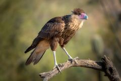 Uccello crestato del Caracara sul ramo fotografia stock libera da diritti