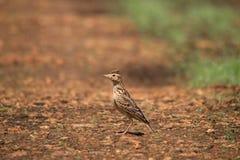 Uccello crestato marrone dell'allodola nel suo habitat Immagine Stock Libera da Diritti
