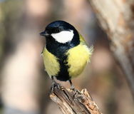 Uccello curioso Fotografie Stock