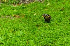 Uccello curioso del tordo Fotografia Stock