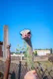 Uccello d'alimentazione dello struzzo sulla campagna dell'azienda agricola Fotografia Stock