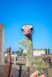 Uccello d'alimentazione dello struzzo sulla campagna dell'azienda agricola dello struzzo Fotografie Stock