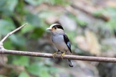 Uccello d'argento dei broadbills del seno in natura Fotografia Stock