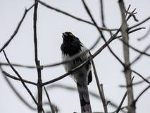 Uccello dal ¡ di Nico de Bogotà del ¡ del botà del jardÃn Fotografia Stock Libera da Diritti