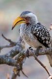 Uccello dal becco giallo del sud del bucero fotografia stock libera da diritti
