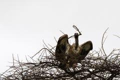 Uccello dal dorso bianco africano dell'avvoltoio con il ramo secco in suo becco come materiale per il nido a Serengeti in Tanzani fotografia stock