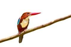 Uccello dalla gola bianca del martin pescatore Fotografie Stock