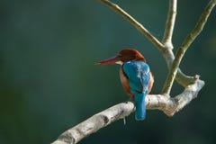 Uccello dalla gola bianca del martin pescatore nel Nepal Fotografie Stock Libere da Diritti