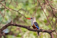 uccello dalla testa grigia del martin pescatore con il becco rosso lungo che si appollaia sul brach al parco nazionale di Serenge fotografia stock libera da diritti