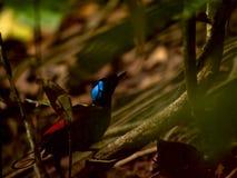 Uccello-de-paradiso di Wilson in Papuasia ad ovest Fotografie Stock Libere da Diritti