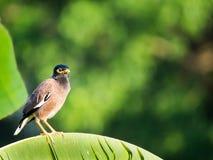 Uccello degli storni che sta sulla foglia della banana fotografia stock libera da diritti