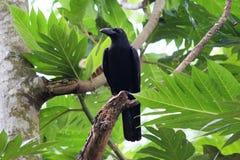 Uccello dei corvi Fotografia Stock Libera da Diritti