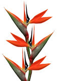 Uccello dei fiori di paradiso Immagini Stock Libere da Diritti